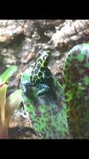 Male Pepe