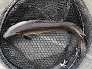 Bowfin In The Landing Net...............