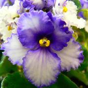 violetas_1
