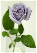 rosa_azul02