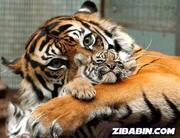 tigresamãe
