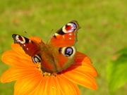 pommes,papillons 004