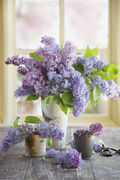gallery-1431379253-lilacs-hero-images
