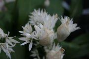 Secret Garden Club: garlic and the allium family