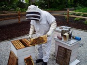 Helping Bees in your Urban Garden