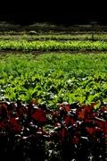 Knee Deep in the Organic Veggie Garden