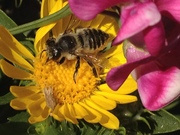 *Introduction to Native Pollinators (Free workshop)