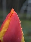 Rainy Day Tulip 2