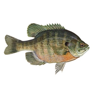 Bluegill Timber