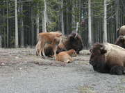 Bison Calves in Yellowstone - Wyoming
