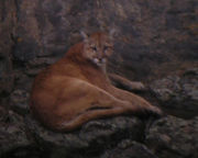 Mountain Lion observed in Yellowstone