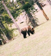 GRIZZLY!!!!