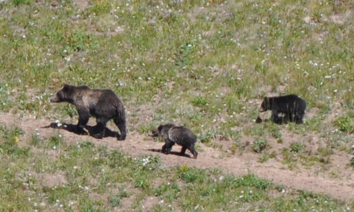 Momma Grizzly and her 2 cubs