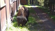Bison @ dorm in Canyon Village