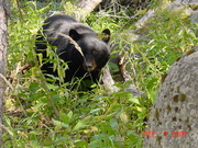 "BEAR NAMED 'ROSIE"" IN TOWER FALLS"