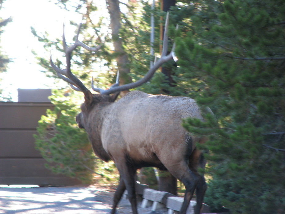BULL ELK IN GRANT VILLAGE CAMPGROUND
