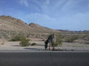 Wild burros outside of Death Valley, near Beatty