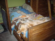 Amber (my service dog) sleeping on the end of my bed