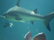 Shark Bait Boys Sea World Dive - 12-14 Dec 08 Dive 2 032