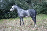 Tyson, our blue roan paint horse