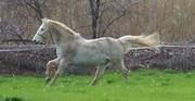 STERLINGO danish wb gelding 23 yrs of age