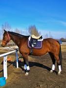 2006 Hanoverian x Dutch warmblood mare,16.2