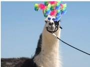 wig on llama
