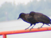 2 crows on Miss River