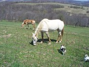appletreeshorses 001