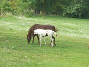 baby horse 004
