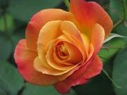 First Rose CU