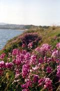 pinkoceanflowers