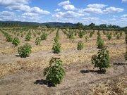 cultivo de jatropha curcas