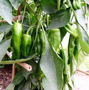Pimientos cosecha 2008