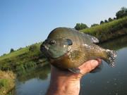Bluegill from my pond.