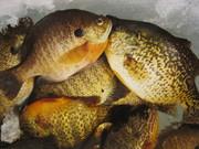 fish 011