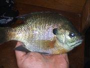Lake Winnebago, WI Bluegills/sunfish