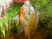 05-29-10 Trophy RedBreast Sunfish 10 inches #2  Sideview