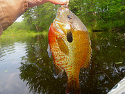 05-29-10 NY Trophy RedBreast Sunfish #3  10.25 inches