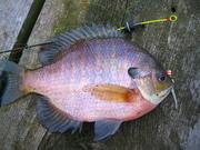 purple gill