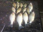 2010 august striped bass
