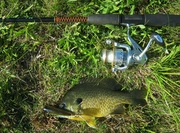 10 in. Hybrid Bluegill x Green Sunfish (6-26-12)