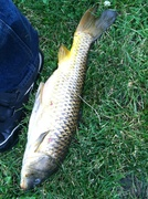 Fox river carp