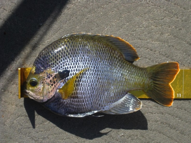 10 3:4 Inch Big Bluegill