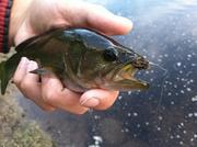 Small bass