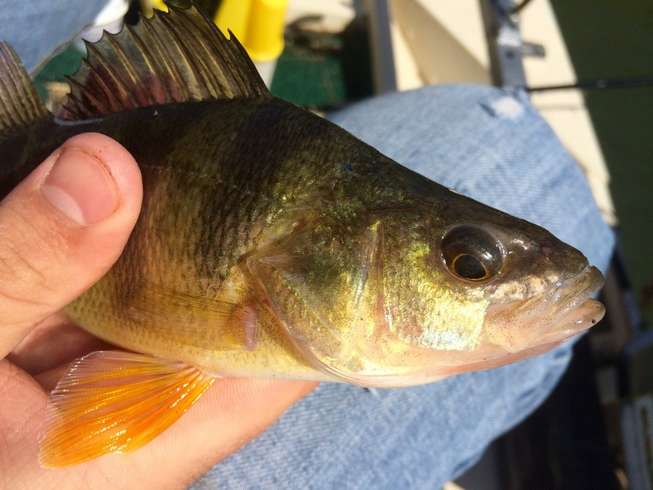 Great Perch Day