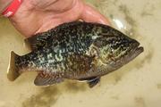 panfish 060