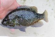 panfish 028