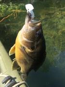 Hybrid sunfish