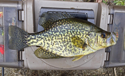 4-8-16.14 - 12in. crappie at Twin Lakes North 12.47pm